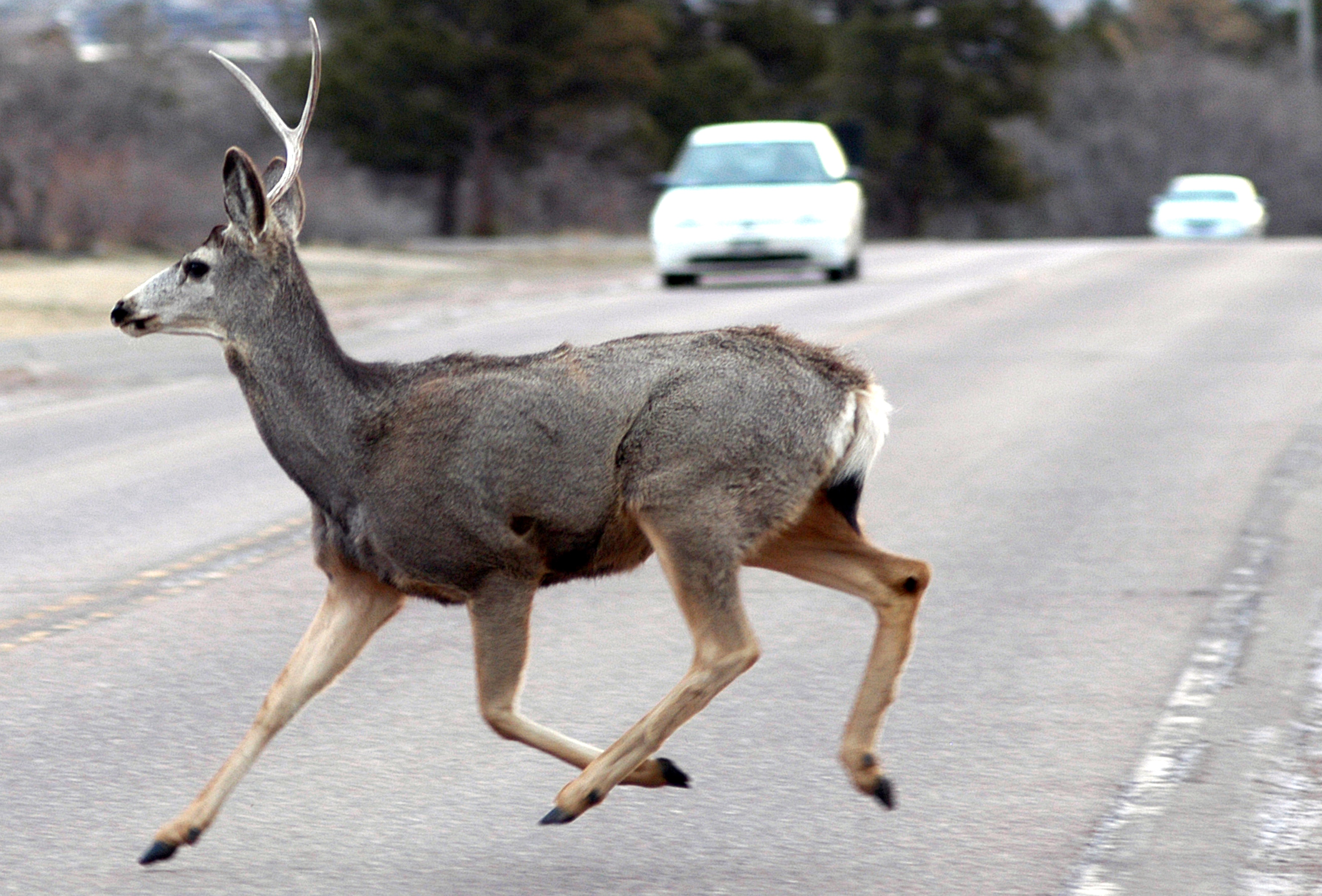 Deer crossing roads can cause major damage. Learn more about deer and car collisions and how to avoid them.